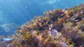 Immergersi subacqueo nel mare fra le scogliere con il pesce, le meduse e le alghe sul fondale marino stock footage