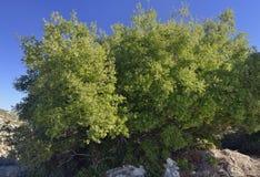 Immergrün, Flussinsel oder Holly Oak Lizenzfreie Stockbilder