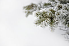 Immergrüne Niederlassung mit Schnee stockfoto