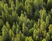 Immergrüne von der Luftbäume Stockfotografie