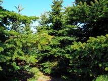 Immergrüne Weihnachtsbäume wachsen im Wald stockbilder