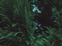 Immergrüner Baum ausführlich Stockfotografie