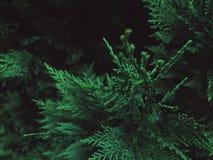 Immergrüner des Baums Abschluss oben Stockbilder