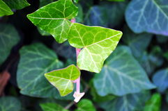 Immergrüner Efeublattabschluß oben Stockfoto