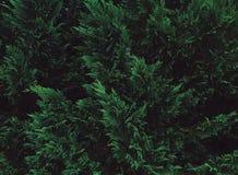 Immergrüner Hintergrund Stockbilder