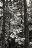 Immergrüner hintergrundbeleuchteter Wald B&W lizenzfreies stockbild