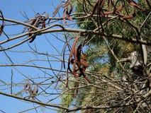 Immergrüner Johannisbrotbaumbaum Stockbild