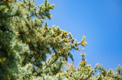 Immergrüner Koniferenbaum-Nahaufnahmehintergrund lizenzfreie stockbilder