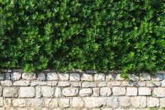 Immergrüner Strauch der Hecke im Landschaftsdesign lizenzfreie stockfotos