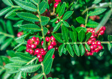 Immergrüner Strauch mit roten Beeren Pistacia lentiscus Stockbild