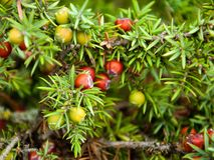 Immergrüner Wacholderbusch Stockbild
