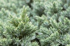 Immergrüner Wacholderbuschhintergrund Lizenzfreies Stockfoto