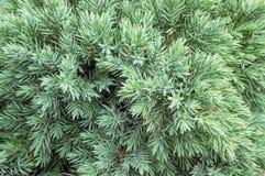 Immergrüner Wacholderbuschhintergrund Stockbild