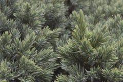 Immergrüner Wacholderbuschhintergrund Lizenzfreies Stockbild