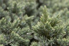 Immergrüner Wacholderbuschhintergrund Stockbilder