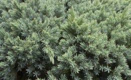 Immergrüner Wacholderbuschhintergrund Stockfotos