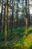 Immergrünes Koniferenkiefernwaldkiefernholz mit schottische oder schottische Kiefer Pinus sylvestris Bäumen lizenzfreie stockfotos