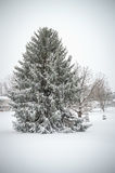 Immergrün im Schnee Lizenzfreies Stockbild