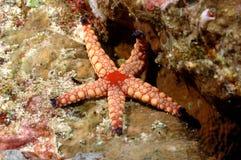 Immersione con bombole rosa dell'Aceh Indonesia delle stelle marine Fotografie Stock Libere da Diritti