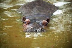 Immersione dell'ippopotamo Fotografia Stock