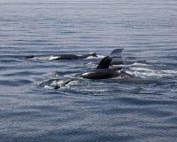 Immersione delle balene di Humpback Immagini Stock