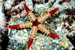 Immersione subacquea del subaqueo del kapoposang delle stelle marine di monilis di Fromia fotografia stock