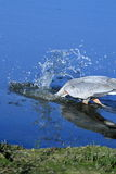 Immersione subacquea dell'airone di grande blu per il pesce Immagini Stock