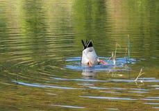 Immersione subacquea dell'anatra nel lago Immagini Stock