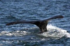 Immersione subacquea della balena Fotografia Stock