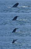Immersione subacquea della balena blu Fotografia Stock