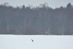 Immersione subacquea della volpe rossa nella neve Fotografia Stock