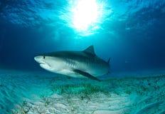 Immersione subacquea dello squalo fotografie stock