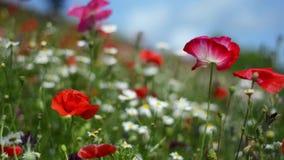 Immersive, Augenhöhegesamtlänge von Wildflowers in der Wiese von Mohnblumen und von Gänseblümchen, an einem sonnigen Sommertag stock video