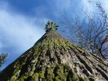 Immersive drzewko palmowe Zdjęcie Stock