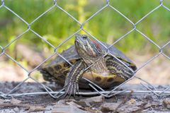 Immigrant turtle Royalty Free Stock Photo