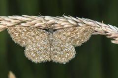Immorata di Scopula del lepidottero di Lewes Fotografie Stock