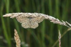 Immorata di Scopula del lepidottero di Lewes Fotografia Stock