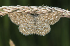 Immorata di Scopula del lepidottero di Lewes Fotografie Stock Libere da Diritti