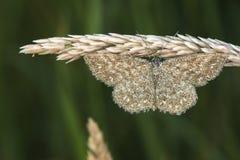 Immorata di Scopula del lepidottero di Lewes Immagine Stock Libera da Diritti