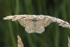 Immorata di Scopula del lepidottero di Lewes Immagine Stock