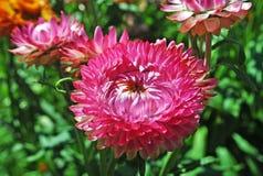 Immortelle è un fiore nel giardino Fotografie Stock Libere da Diritti