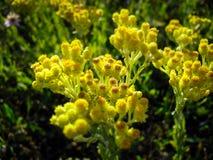 Immortelle στενό επάνω δάσος φωτός του ήλιου λουλουδιών κλίση-μετατόπισης κίτρινο άγριο Στοκ φωτογραφίες με δικαίωμα ελεύθερης χρήσης
