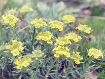 Immortelle - arenarium Helichrysum, νάνα everlas Στοκ φωτογραφίες με δικαίωμα ελεύθερης χρήσης