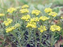 Immortelle - arenarium Helichrysum, νάνα everlas Στοκ Εικόνα