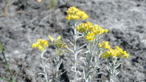 Immortelle closeup, yellow medicinal plant, summer environment, stock video footage