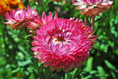 Immortelle est une fleur dans le jardin Photos libres de droits