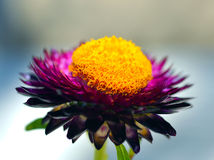Immortelle, Everlasting, flower, Strawflower Stock Photo