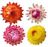 Immortelle flower set Stock Photography