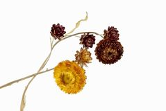 Immortelle flowers. On a white background Royalty Free Stock Photo