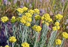 Immortelle gul medicinalväxt, sommarmiljö arkivfoton